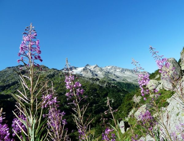 Flowers in the Alps