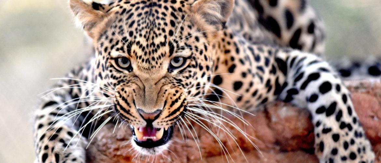 Leopard in a tree Kruger National Park, South Africa